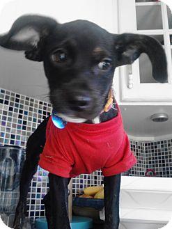 Italian Greyhound/Miniature Pinscher Mix Puppy for adoption in Minneapolis, Minnesota - Ginger
