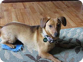 Dachshund Mix Dog for adoption in Hastings, New York - Charlotte