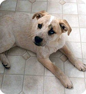 Husky Mix Puppy for adoption in Salem, New Hampshire - PUPPY LADY