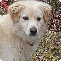 Adopt A Pet :: Antonio - Brattleboro, VT