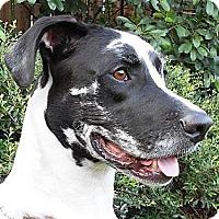 Adopt A Pet :: Moose - Kingwood, TX