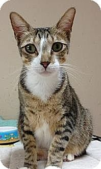 Domestic Shorthair Cat for adoption in League City, Texas - MOE
