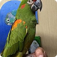 Adopt A Pet :: Sonu - Woodbridge, NJ
