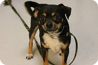 Chihuahua Mix Dog for adoption in Lebanon, Connecticut - Chewey
