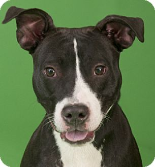 American Pit Bull Terrier Mix Dog for adoption in Chicago, Illinois - Autumn