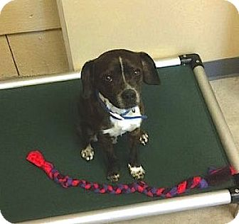Beagle/Terrier (Unknown Type, Small) Mix Dog for adoption in Nashville, Tennessee - Ty