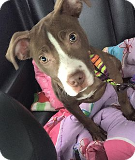 Pit Bull Terrier Mix Puppy for adoption in Newtown, Connecticut - Dali