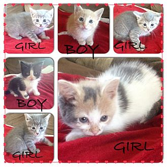 American Shorthair Kitten for adoption in Sterling Heights, Michigan - Litter 4