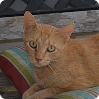 Adopt A Pet :: Tomcat - New Iberia, LA
