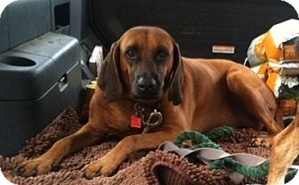 Redbone Coonhound Dog for adoption in Limekiln, Pennsylvania - LUCILLE