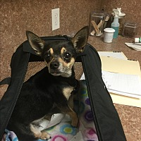 Chihuahua Dog for adoption in Kempner, Texas - Julie