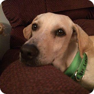 Labrador Retriever/Whippet Mix Dog for adoption in Randolph, Massachusetts - Perfect Pepsi