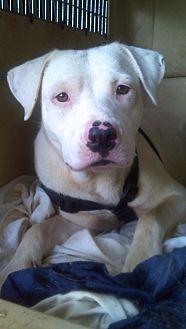 American Bulldog/Catahoula Leopard Dog Mix Dog for adoption in Orange Lake, Florida - Mikey