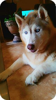 Siberian Husky Dog for adoption in Clearwater, Florida - Charlotte