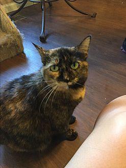 Domestic Shorthair Cat for adoption in Walnut Creek, California - Jazzy