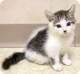 Domestic Shorthair Kitten for adoption in Montclair, New Jersey - Baffi