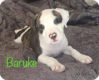 Boxer/Hound (Unknown Type) Mix Puppy for adoption in Concord, California - Baruke