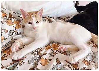 Domestic Shorthair Kitten for adoption in Redding, California - Butterfly