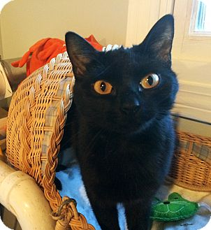 Domestic Shorthair Cat for adoption in Lombard, Illinois - Apertif