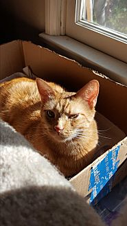 Domestic Shorthair Cat for adoption in Monrovia, California - Rusty