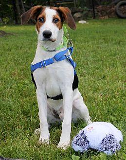 Beagle Mix Dog for adoption in Harrison, New York - Chad