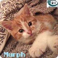Adopt A Pet :: Murph - Too Cute! - Huntsville, ON