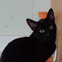 Adopt A Pet :: Penny (kitten) - Watsontown, PA