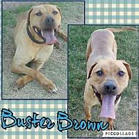 Adopt A Pet :: Buster Brown - Gilbert, AZ