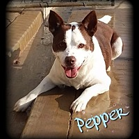 Adopt A Pet :: Sargeant Pepper - Hartford City, IN