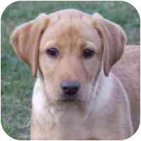 Labrador Retriever Puppy for adoption in Coleraine, Minnesota - Luz
