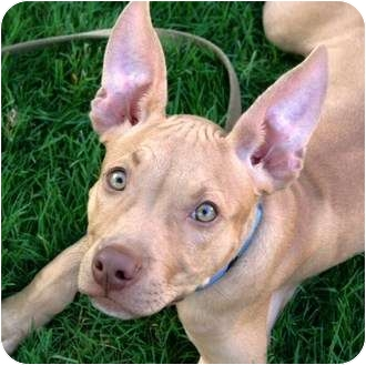 Pharaoh Hound/Terrier (Unknown Type, Medium) Mix Puppy for adoption in Berea, Ohio - Gunney