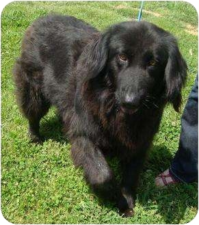 Newfoundland/Golden Retriever Mix Dog for adoption in Knoxvillle, Tennessee - Fiona