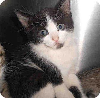 Domestic Shorthair Kitten for adoption in Yuba City, California - 09/21/12 Black & White Girl