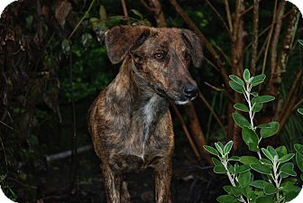 Dachshund/German Shorthaired Pointer Mix Puppy for adoption in Vancouver, British Columbia - Mollie