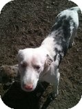 Australian Shepherd Mix Dog for adoption in Alliance, Nebraska - aussie mom