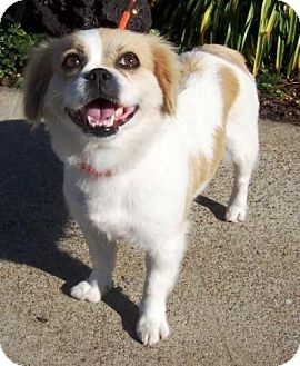 Pekingese/Cavalier King Charles Spaniel Mix Dog for adoption in Castro Valley, California - Spice