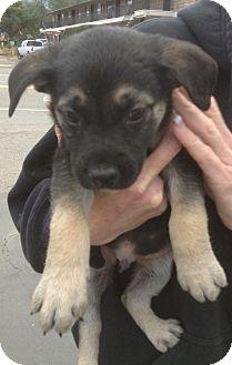 Australian Shepherd/Goldendoodle Mix Puppy for adoption in Santee, California - Mo