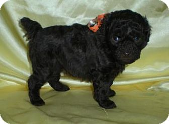 Poodle (Miniature) Puppy for adoption in Larned, Kansas - Betty
