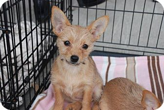 Chihuahua/Yorkie, Yorkshire Terrier Mix Puppy for adoption in Albany, New York - Callie