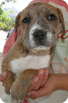 Foxhound/Australian Cattle Dog Mix Puppy for adoption in Corona, California - MALINA'S PUPS C