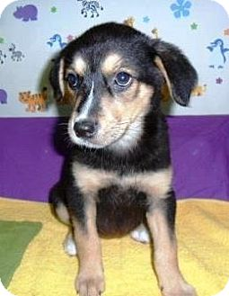 Rottweiler/German Shepherd Dog Mix Puppy for adoption in Bartonsville, Pennsylvania - Jade
