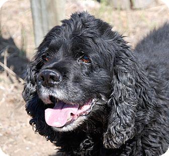 Cocker Spaniel Mix Dog for adoption in Portola, California - Matt