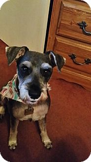 Miniature Schnauzer Dog for adoption in Winter Haven, Florida - Toby