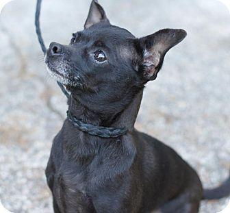 Chihuahua Dog for adoption in Covington, Washington - Hildy