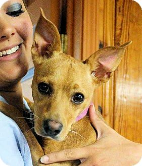Chihuahua Mix Dog for adoption in Williston, Vermont - Mona