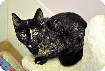 Domestic Shorthair Cat for adoption in West Hartford, Connecticut - Gina