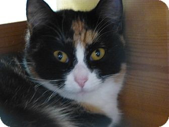 Calico Cat for adoption in Quincy, California - Leanna