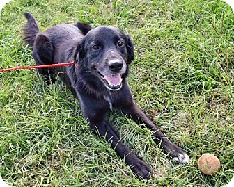 Flat-Coated Retriever Mix Dog for adoption in New Canaan, Connecticut - Puck