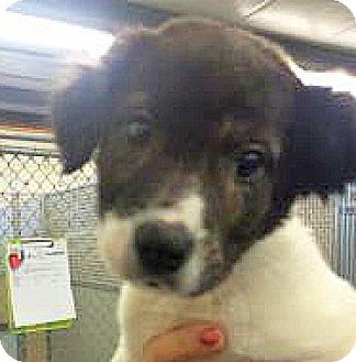 Basset Griffon Vendeen Mix Puppy for adoption in Spokane, Washington - Pluto