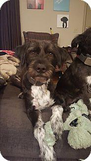 Labrador Retriever Mix Dog for adoption in Austin, Texas - Atticus